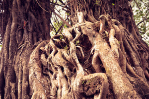 tree_root_free_photo-690x457